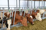 Perfect cow-comfort in robot dairy farming