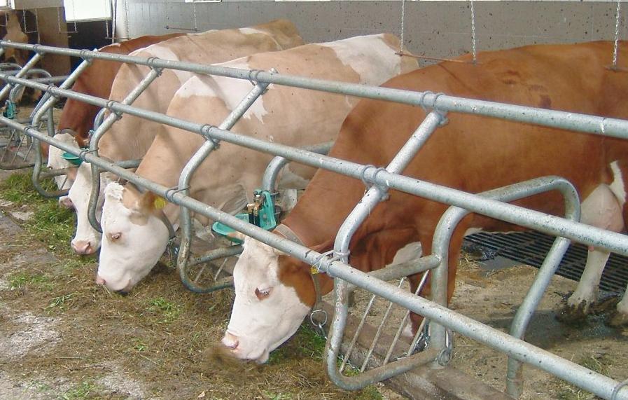 Выращивание быков производителей 93