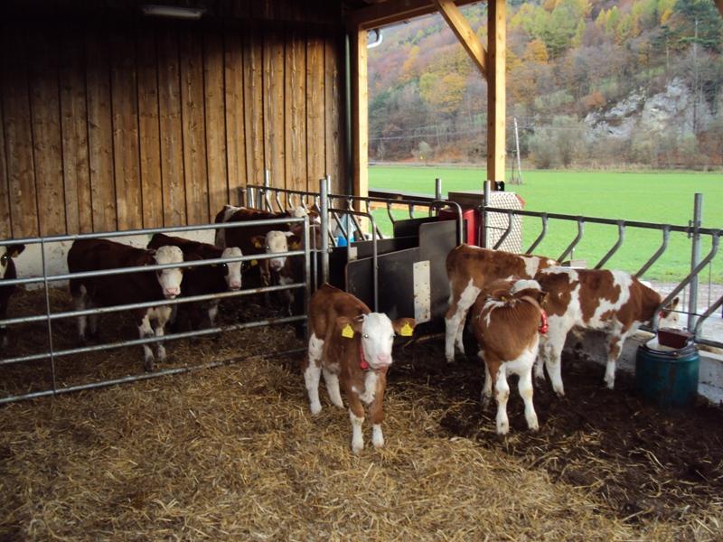 braeuer.cc | Rinder | Kälberställe | Referenzen Kälberställe ...