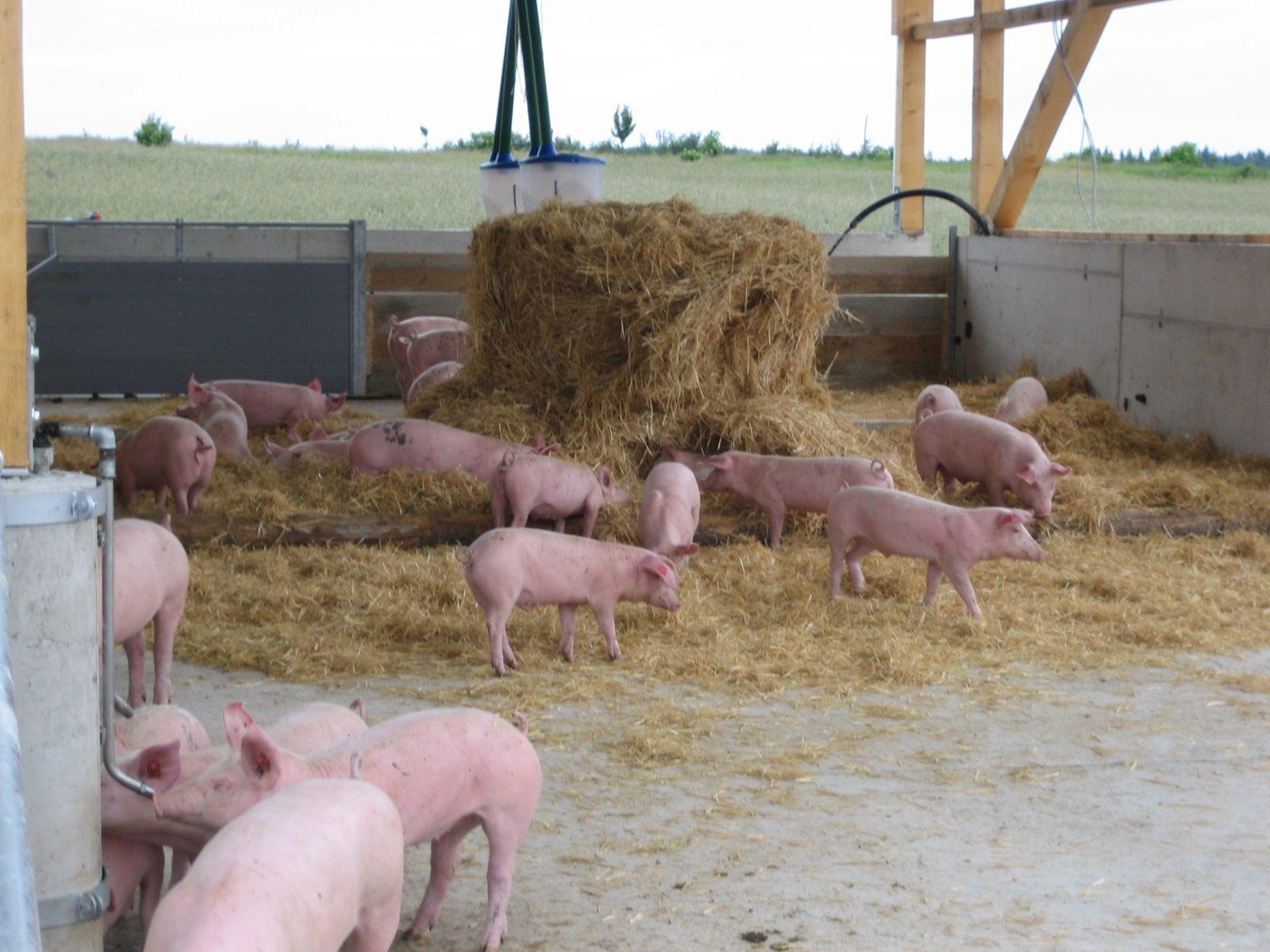 schweine bio mast bio schweinemast waldviertler genuss schmiede. Black Bedroom Furniture Sets. Home Design Ideas