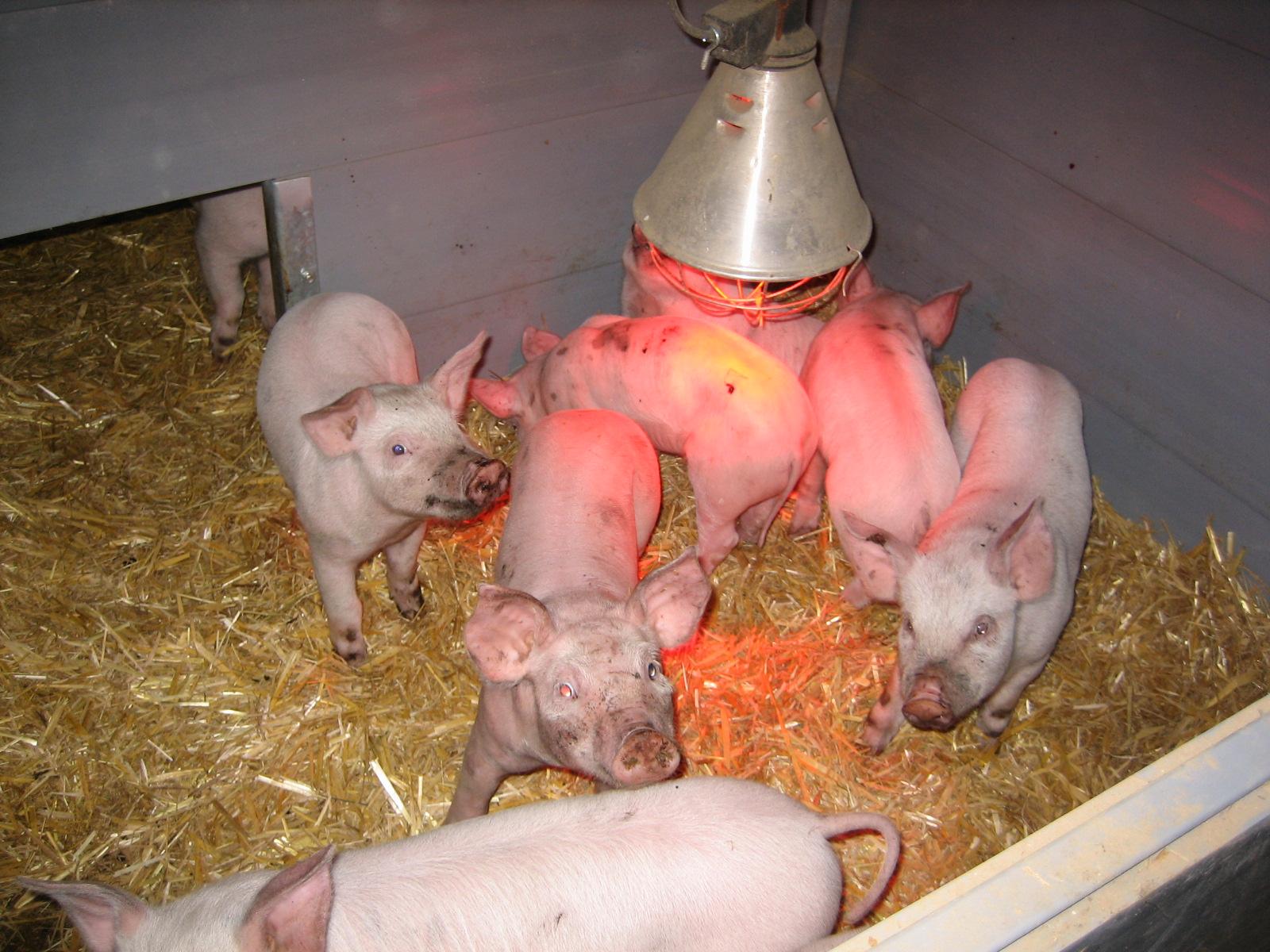 Помещения для свиней в домашних условиях фото